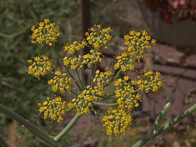 2.5 inch cluster of Fennel flowers
