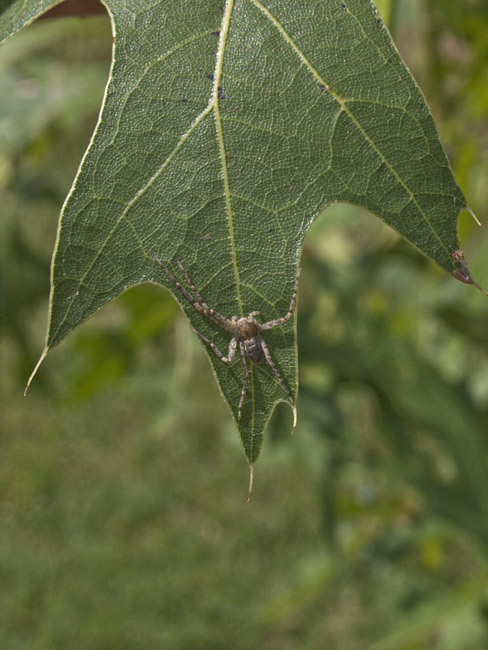 Spider with six legs on Oak leaf