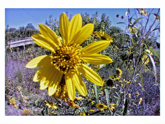 Wildflowers on the South Creek Trail, a Little Cyclops photo
