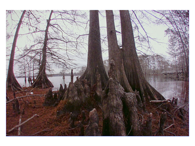 Bald Cypress in a Louisiana lake