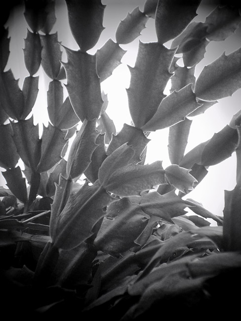 Christmas Cactus, 100 Days of the Mundane