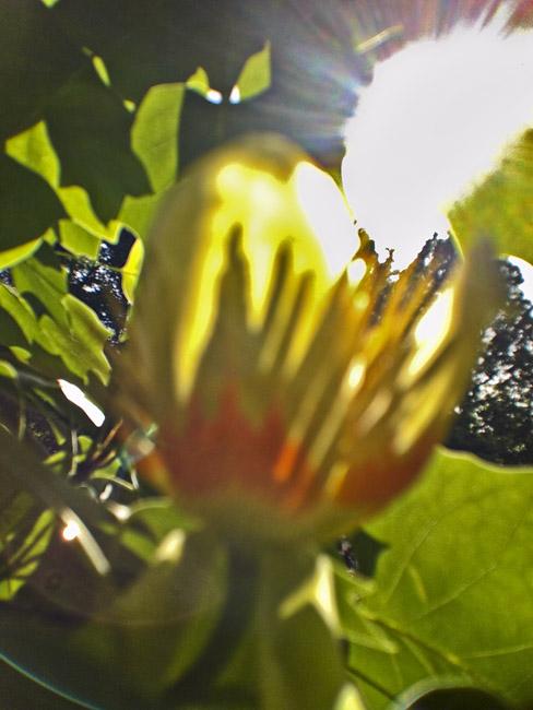 Tulip tree in bloom