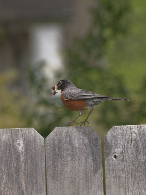 Robin cleared for landing