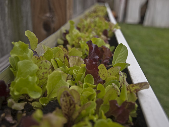 Micro greens in my reclaimed gutter garden
