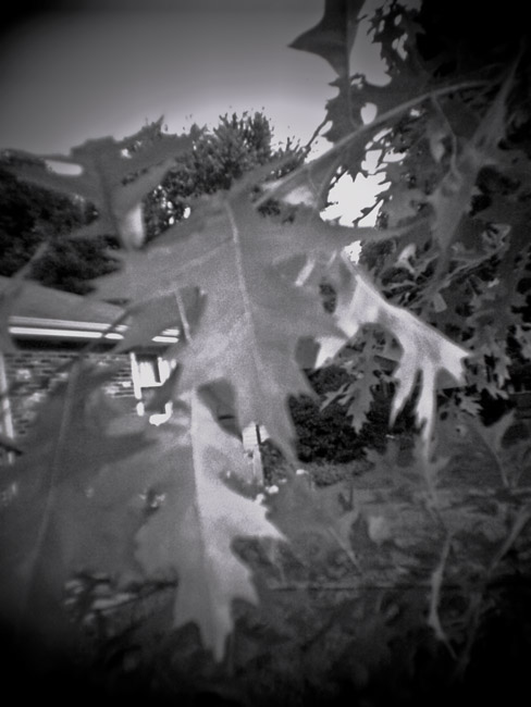 Oak leaves at dusk, 100 Photographs of the Mundane