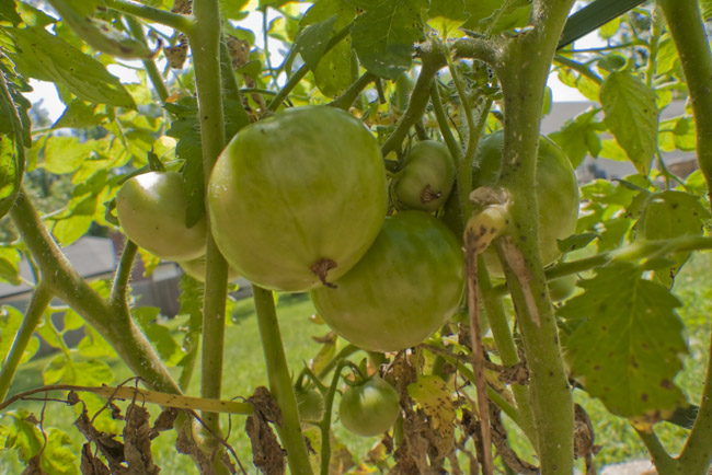 Green Tomatoes, Opus II