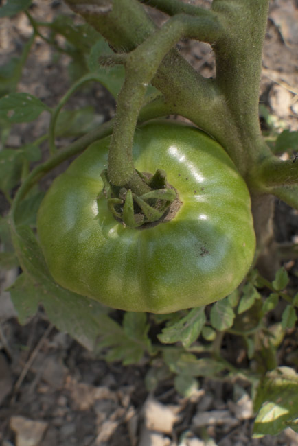 Green Tomato, opus III