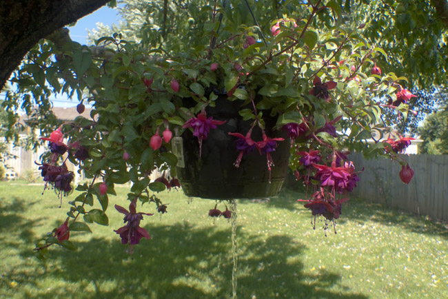 Watering the hanging Fuchcia