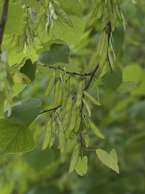 Redbud seed pods