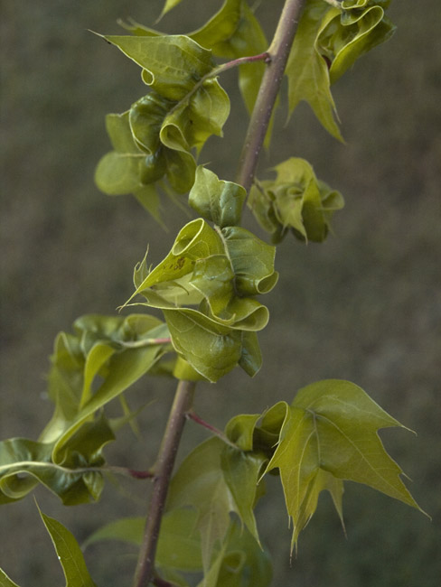 Contorted oak leaves on a branch