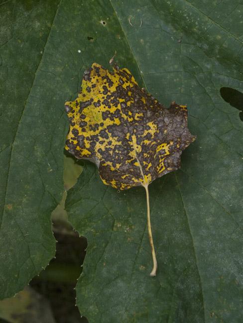Silver Leaf Poplar and Pumpkin leaves