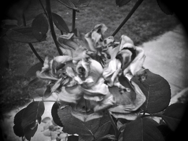 Withered Rose, 100 Photographs of the Mundane