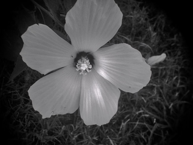 White Hibiscus in Shades of Grey, 100 Photographs of the Mundane