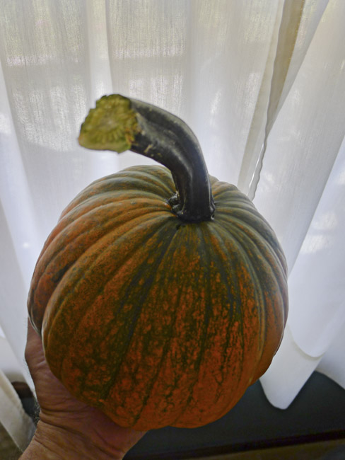 The first pumpkin off the volunteer vine