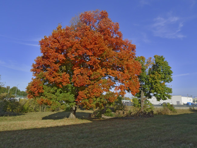 Fall Color in Southwest Springfield