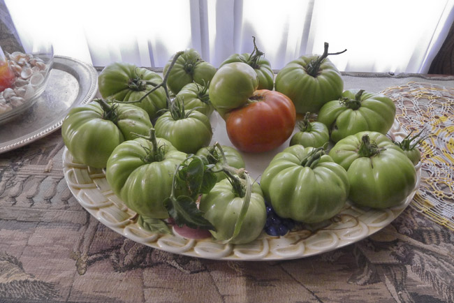 I had to pick the last of the Tomatoes, there was a hard frost last night.