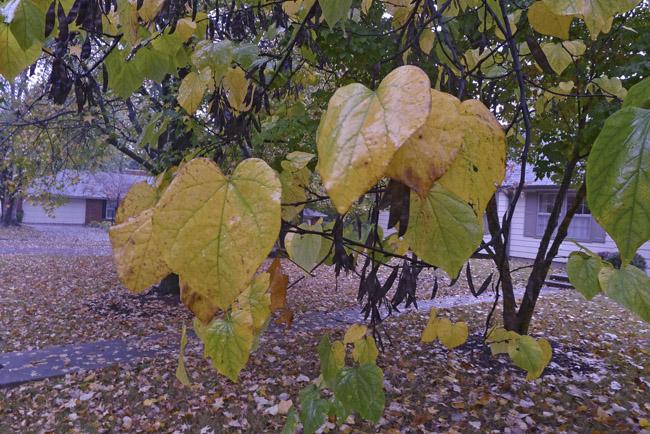 Redbud leaves in Autumn