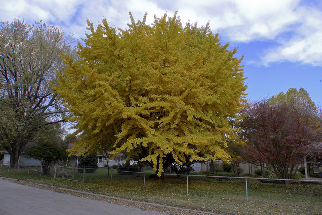 A stunning Gingko ablaze in Autumn Splendor