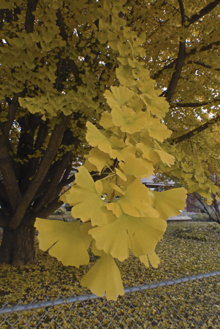 An amazing Gingko encased in Autumn Gold