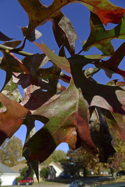 """The glorious """"Mighty Oak"""" in it's electric fall color"""