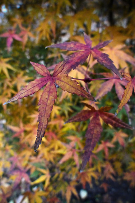 Japanese Maple in Glorious Fall Color, opus 2