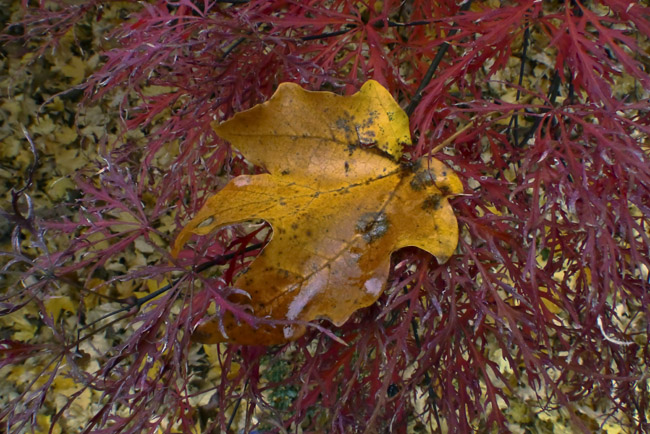 Maple, Japanese Maple composition in Red and Yellow