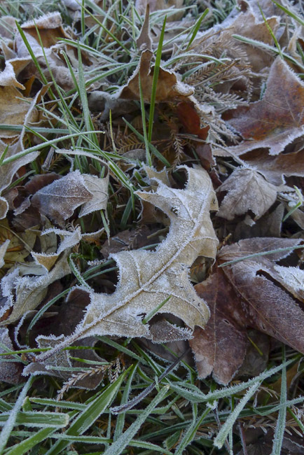 A Frost covered Pin Oak leaf