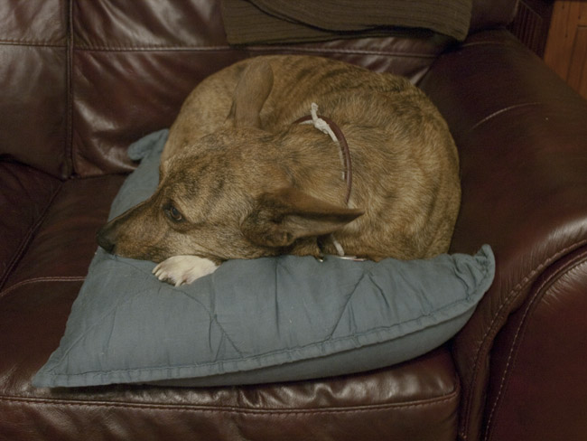 Shelvin a dog and his pillow