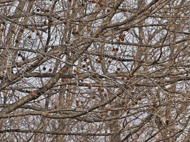 Branches and Sweet Gum Balls