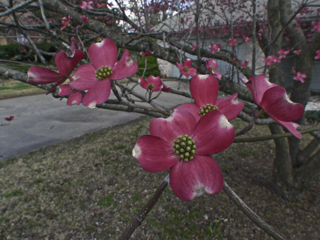 Pink Dogwoods on an overcast day