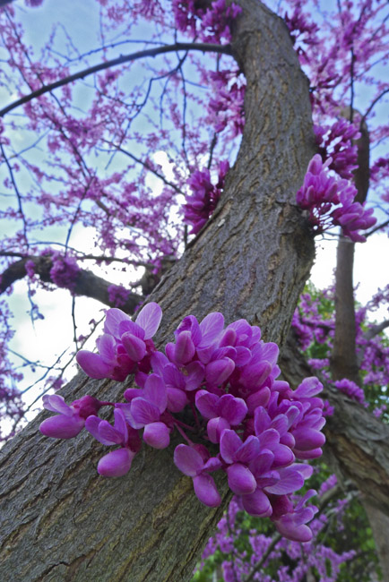 A Redbud in full bloom