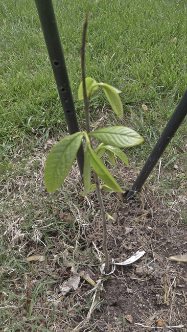 A young Paw Paw Tree