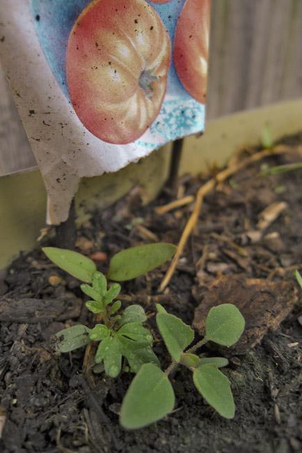 Heirloom tomato seedlings in gutter garden