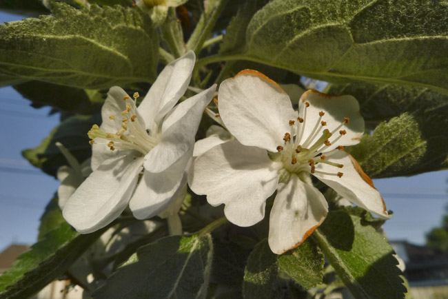 The blooms of a Malus Freedom apple