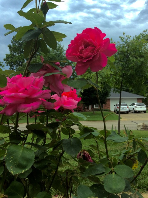 Long stemmed roses