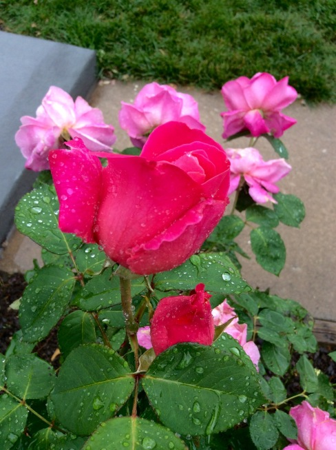 The rose bush is getting wet