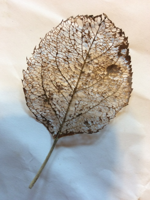 Apple leaf skeleton