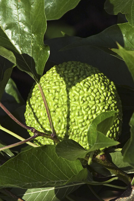 Hedge Apple, the fruit of the Osage Orange tree