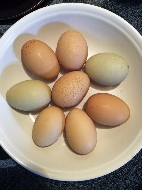 Jenna's backyard eggs