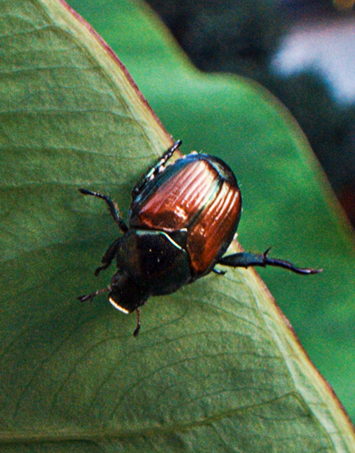 The Japanese Beetles are back for summer vacation