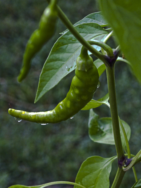 Cayenne pepper and the morning rain