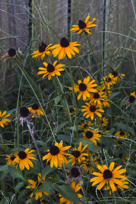 Yellow Cone Flowers and Fescue