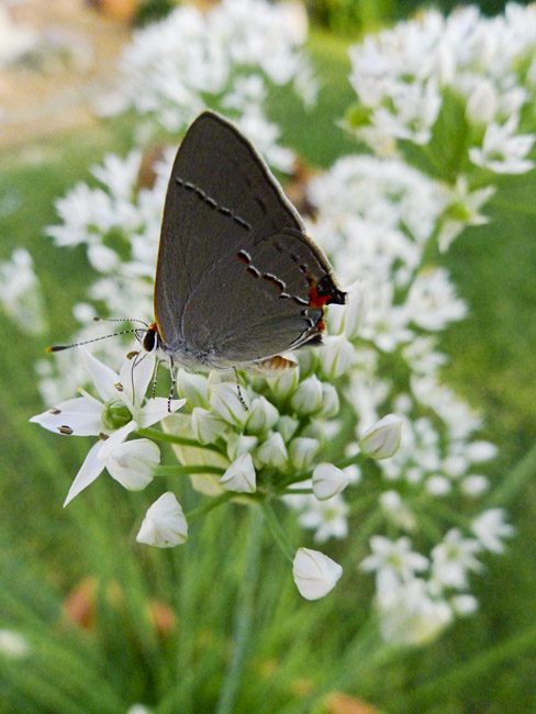 Grey butterfly on Chive flowers