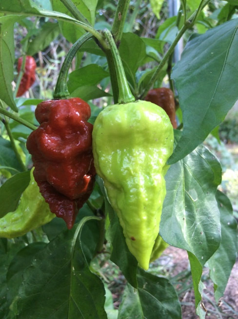 The Ghost Peppers are heating up