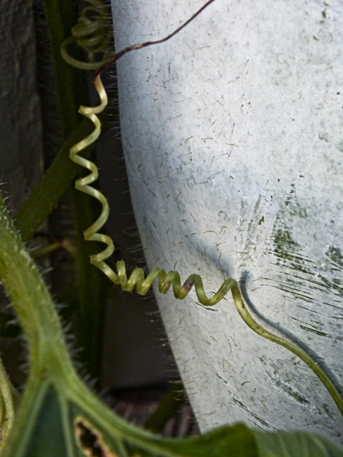 Close up of squash tendril