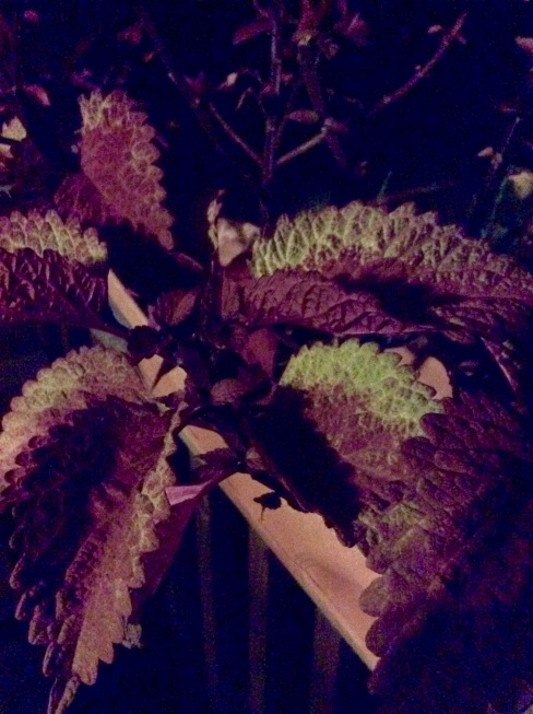 Coleus leaves at night