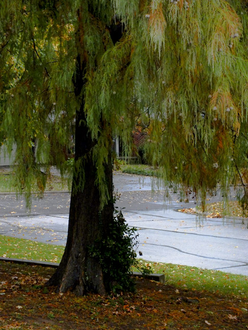 Bald Cypress in the rain