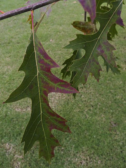 Oak Leaf in red and green