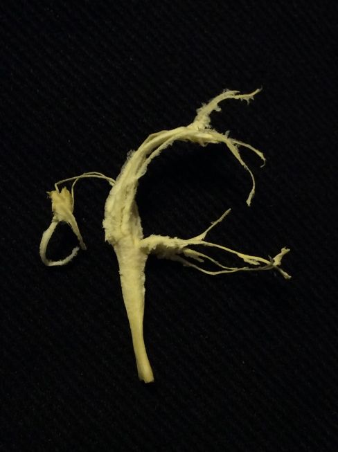 A tangerine's spinal cord