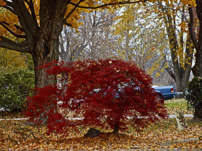 The neighbor's Japanese Maple